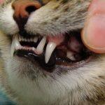 Pourquoi mon chat perd-il ses dents?
